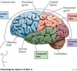 Brain_areas